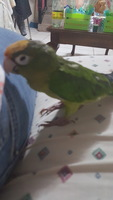 Vómito en aves, Loro amazona de frente roja