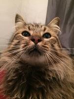 Dificultad al masticar en gatos, Siberiano