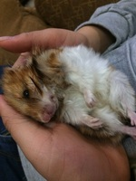 Margarita, mi roedor hámster hembra, tiene un problema de salud