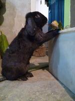Mucho moco en la nariz en roedores, Cobaya
