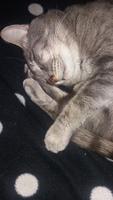Zeus, mi gato desconocida macho, tiene respira con dificultad, sangrado de nariz y estornudos