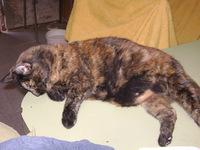 Dificultad al masticar en gatos, Americano de pelo corto