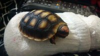 Dificultad al caminar o levantarse en reptiles, Tortuga mora