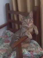 Gusanos en las heces en gatos, Mau egipcio