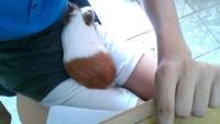 Estreñimiento en roedores, Cobaya
