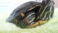 Dolor al contacto en reptiles, Tortuga de orejas rojas