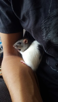 Tos en roedores, Rata estándar