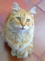 Sangre en las heces en gatos, Común europeo