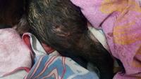 Viejito, mi perro desconocida macho, tiene heridas, sobreexcitado, y gruñidos