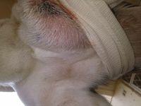 Pecas, mi perro cruce de pit bull hembra, tiene gruñidos, dolor al contacto y heridas