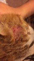 Wounds en cats, American Shorthair