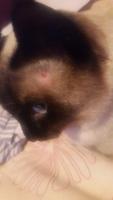 Dali, mi gato siamés macho, tiene se rasca en los oídos