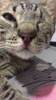 Sangrado de nariz en gatos, Común europeo