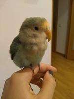 Debilidad en aves, Agapornis roseicollis