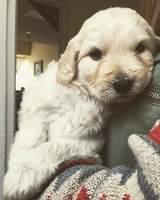 Max, mi perro cruce de golden retriever macho, tiene gusanos en las heces