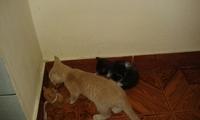 Desmayos en gatos, Abisinio