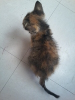Flatulencia en gatos, Americano de pelo corto