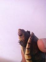 Taemin, mi reptil tortuga hembra, tiene agresiones, mordeduras y heridas