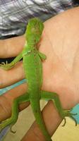 Nubes o película transparente blanca en los ojos en reptiles, Iguana verde