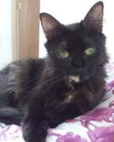 Tengo dudas sobre el comportamiento de Anise, mi gato cruce de alemán de pelo largo hembra