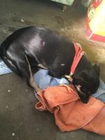 Gruñe en perros, Chihuahueño