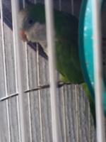 Respira con dificultad en aves, Cotorrita del sol