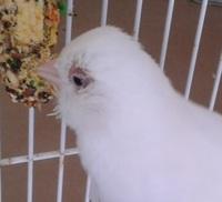 Respira con dificultad en aves, Canario de raza española