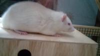 Sangrado de nariz en roedores, Rata estándar