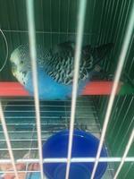 Temblores en aves, Periquito azul cielo