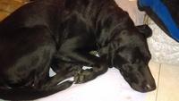 Sangrado de nariz en perros, Labrador