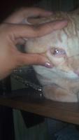 Come cosas no alimenticias (Plásticos, calcetines etc.) en gatos, Europeo de pelo corto