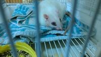 Respiración ruidosa en roedores, Rata estándar