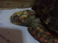 Morro, mi mascota desconocida hembra, tiene diarrea y vómito