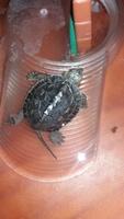 Pérdida de piel en reptiles, Tortuga