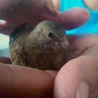 Cojera en aves, Desconocida