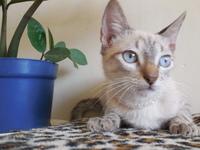 Agresiones en gatos, Siamés