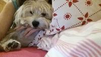 Orina en casa en perros, Yorkshire terrier