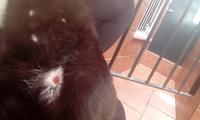 Hinchazón testicular en gatos, Desconocida
