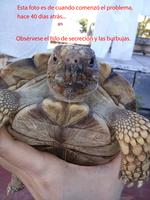 Respira con dificultad en reptiles, Tortuga