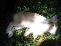 Dante, mi mascota cruce macho, tiene dificultad al caminar o levantarse, inclina la cabeza, y debilidad