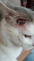 Wounds en cats, Common European