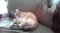 Kiri, mi gato angora turco hembra, tiene temblores y diarrea