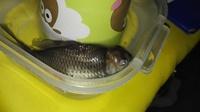 Estreñimiento en peces, Desconocida