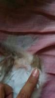 Ojitos, mi gato siamés hembra, tiene dificultad al caminar o levantarse, desorientación y inclina la cabeza