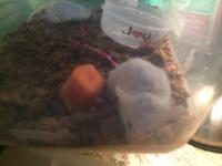 Debilidad en roedores, Ratón común