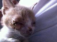 Agresiones en gatos, Mau egipcio