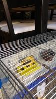 Dificultad al caminar o levantarse en aves, Canario de raza española