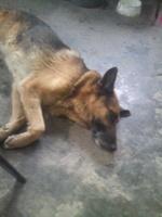 Bartolo, mi perro pastor alemán macho, tiene dificultad al masticar y mal apetito