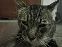 Felix, mi gato cruce macho, tiene tos, arcadas, y estornudos