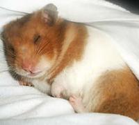 Respiración ruidosa en roedores, Hámster sirio o dorado